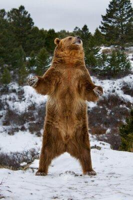 Papiers peints Grizzly Bear
