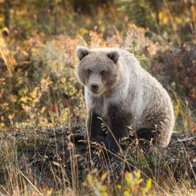 Papiers peints Grizzly, ours, automne, couleurs, Alaska