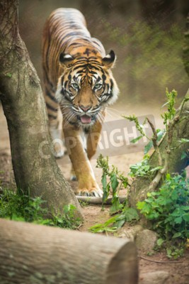 Papiers peints Gros plan d'un tigre sibérien aussi connu comme Tigre d'Amour (Panthera tigris altaica), le plus grand chat vivant