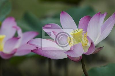 Gros plan, de, a, fleur rose, fleurs lotus