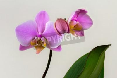 Papiers peints Gros plan de fleur d'orchidée pastel. Zen dans l'art des fleurs. Macro photographie de la nature.