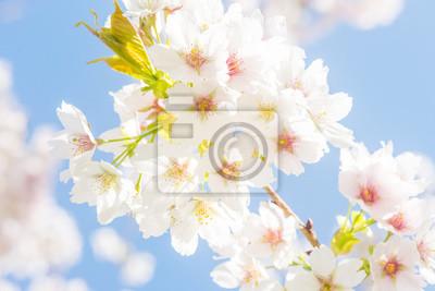 Gros plan de fleur de cerisier blanc sur un ciel bleu à une journée ensoleillée