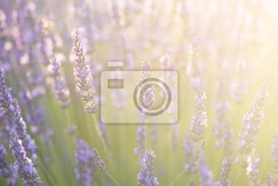 Gros plan de fleurs de lavande avec la lumière du soleil de l'été
