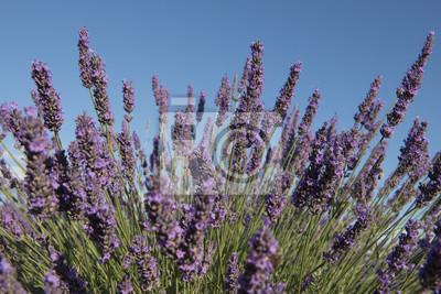 Gros plan de fleurs de lavande avec la lumière du soleil de l'été et le ciel bleu