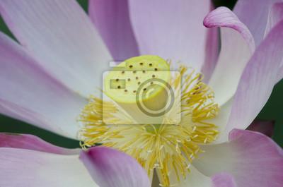 Gros plan, fleur rose, fleur lotus