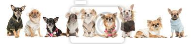 Groupe, neuf, mignon, chihuahua, chiens, Porter, vêtements, isolé, blanc, fond