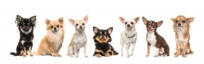 Groupe, sept, mignon, Chihuahua, chiens, faire face, appareil photo, isolé, blanc, fond