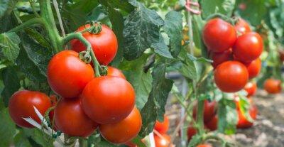 Papiers peints Growth tomato