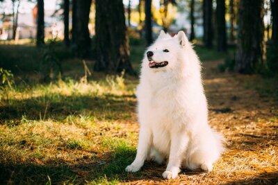 Papiers peints Heureux, blanc, Samoyed, chien, Extérieur, forêt