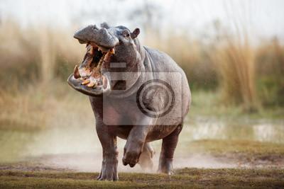 Papiers peints Hippo agressif mâle attaquant la voiture. Énorme hippopotame intimidant l'adversaire. Animal sauvage dans l'habitat naturel. La faune africaine. C'est l'Afrique. Hippopotamus amphibius.