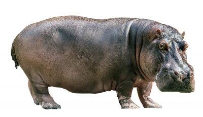 Papiers peints Hippopotamus isolated on white background