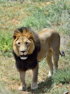 Papiers peints Homme lion, Namibie