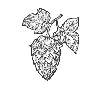 hop cone beer ingredient sketch engraving vector illustration. T-shirt apparel print design. Scratch board imitation. Black and white hand drawn image.