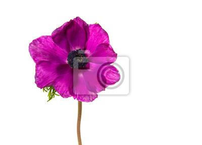Horizontal, image, unique, fleurir, rose, anémone, fleur, isolé, blanc, fond