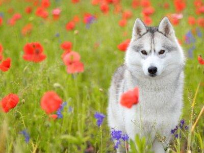 Papiers peints Husky sibérien - coquelicots fleurs