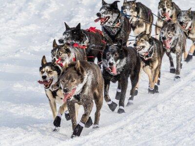 Papiers peints Iditarod chiens de traîneau