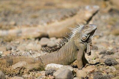 Iguane orange mâle debout fier avec les autres iguanes en arrière-plan