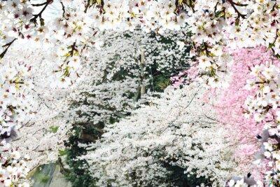 Papiers peints Image de belle sakura seasnon à Kyoto, Japon