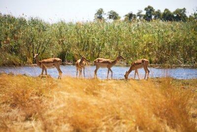 Papiers peints Impala, Aepyceros melampus, Parc national de Bwabwata, Namibie