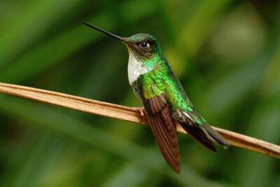 Papiers peints Inca collé, Coeligena torquata, colibri de la forêt de Mindo, oiseau de l'Equateur