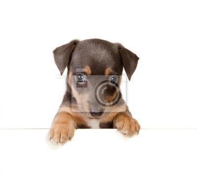 isolated jack russel puppy papier peint • papiers peints annonce