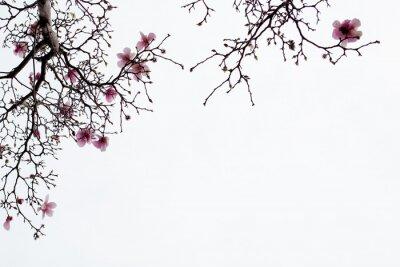 Papiers peints Japonaise, magnolia, fleurs, blanc, fond