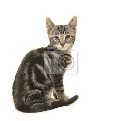 Jeune chat tigré vu de côté regardant par-dessus son épaule à la caméra isolée sur fond blanc