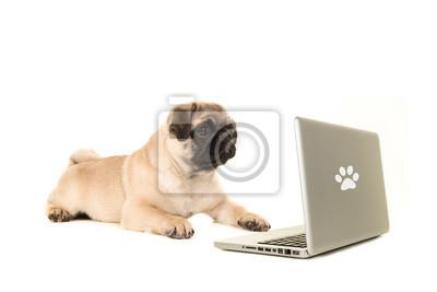 Jeune chien pug couché sur le sol en regardant un labtop isolé sur fond blanc