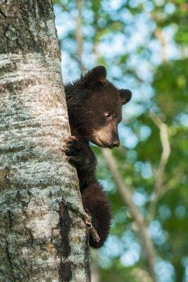 Papiers peints Jeune, noir, ours, (Ursus, americanus), côté, arbre
