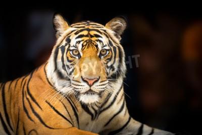 Papiers peints Jeune, sibérien, tigre, sombre, fond, action, regarder, appareil-photo