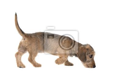 Jeune, teck, dachshund, renifler, vu, côté, isolé, blanc, fond