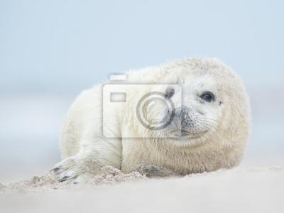 Joli bébé phoque gris allongé sur une plage face à la caméra