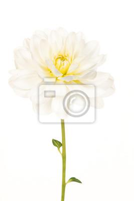 Joli, blanc, fleurir, chrysanthème, fleur, vert, tige, isolé, blanc, fond