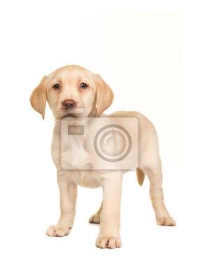 Joli, blond, labrador, retriever, chiot, faire face, appareil photo, debout, isolé, blanc, fond