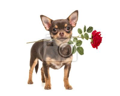 Joli, brun, chihuahua, chien, debout, et, devant, les, appareil photo, tenue, a, rouges, rose, dans, les, bouche, isolé, sur, a, blanc, fond