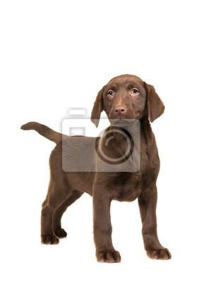 Joli, brun, labrador, retriever, chiot, faire face, appareil photo, debout, isolé, blanc, fond