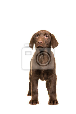 Joli, brun, labrador, retriever, chiot, vu, devant, appareil photo, debout, isolé, blanc, fond