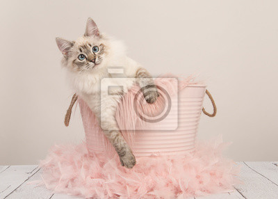 Joli chat ragdoll aux yeux bleus dans un seau rose sur un réglage de couleur pastel