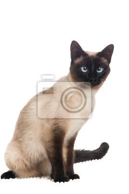 Joli chat siamois assis à un fond blanc