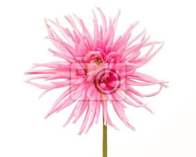 Joli, rose, fleurir, chrysanthème, blanc, fond