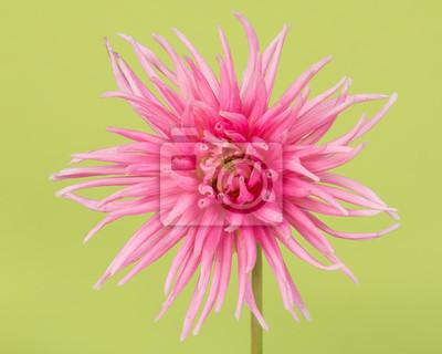 Joli, rose, fleurir, chrysanthème, vert, fond