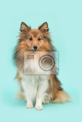 Joli, séance, Shetland, sheepdog, ou, sheltie, regarder, appareil-photo, bleu, turquoise, fond
