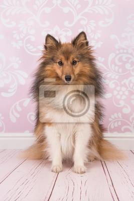 Joli, séance, shetland, sheepdog, regarder, appareil photo, rose, Vivant, salle