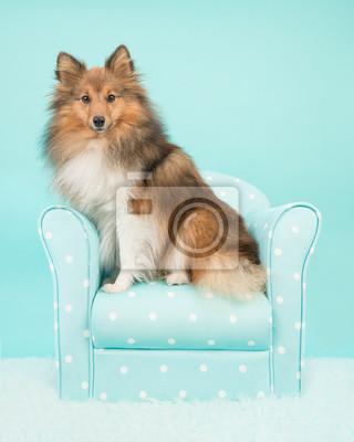 Joli Shetland chien de berger ou sheltie assis sur une chaise turquoise regardant la caméra sur un fond bleu turquoise
