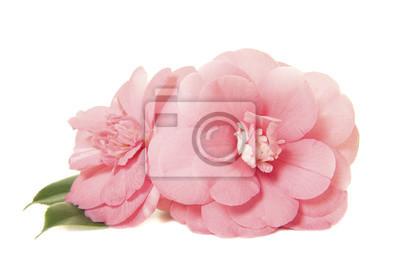 Jolie deux rose camelia roses japonaises isolées sur un fond blanc
