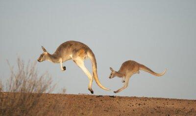 Papiers peints Kangourous à Sturt National Park, Nouvelle-Galles du Sud, Australie