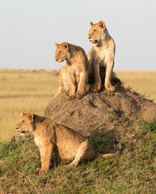 Papiers peints Kenya, Afrique, réserve de Masaï Mara, lion femelle avec des petits.