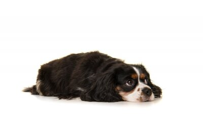 King Charles spaniel lying down on the floor looking away isolated on a white background
