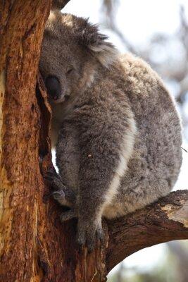 Papiers peints Koala dormir pendant la journée