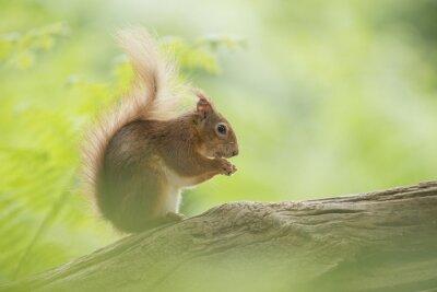 L'écureuil rouge mange sur un tronc d'arbre entouré de feuilles vertes et vertes